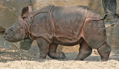 animal rhinoceros rhino young