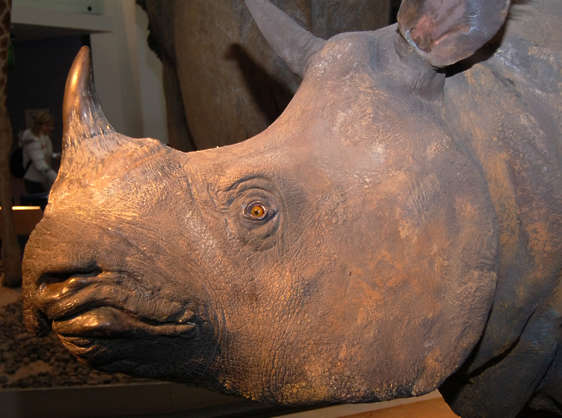 rhino rhinocerous head closeup