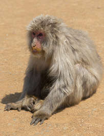 animal monkey macaque