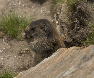 marmot squirrels animal mammal mountains Switzerland Alps