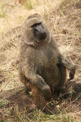 animal baboon monkey