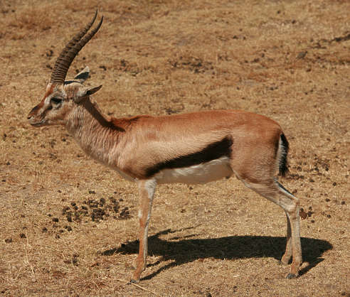 animal antilope hooved