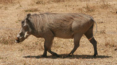 animal hog warthog swine