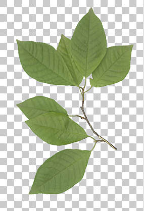 plant transparent leaf leaves masked isolated alpha