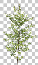 plant masked alpha foliage branch isolated