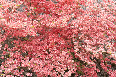 flowers cherry blossom branch pink japan