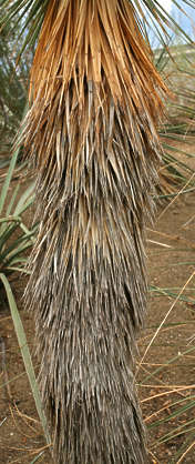 desert dry plant leaves reed thatched dirty joshua tree