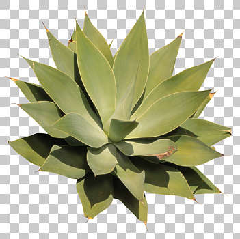 Desert Plant Texture Background Images Pictures