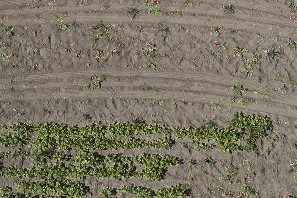 aerial farmland farm land plants crop radish radishes