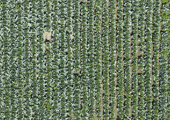 aerial farmland farm land plants crop cabbage crops lettuce