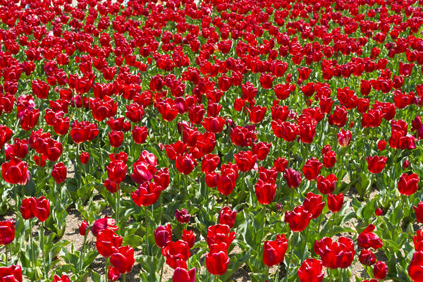 flowers tulip tulips field japan