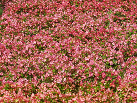 flowers ground groundplants plants pink