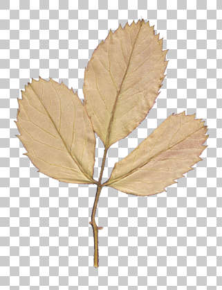 dried flowers pressed flower scrapbooking scrapbook leaves leaf