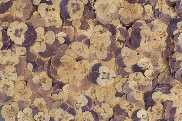 dried flowers pressed flower scrapbooking scrapbook pansies pansy background backgrounds