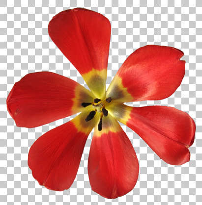 flower petal tulip masked isolated