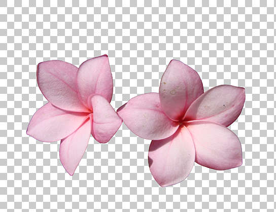 flowers flower pink masked isolated