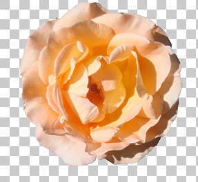 flowers flower rose masked isolated