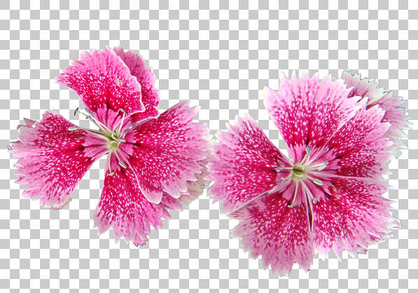 flower flowers pink masked isolated