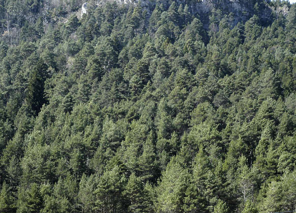 forest trees pine