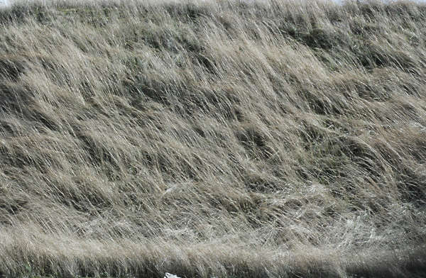 grass dead dry long tall beach dunes