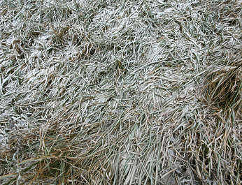 ground frozen winter cold reed plants plant
