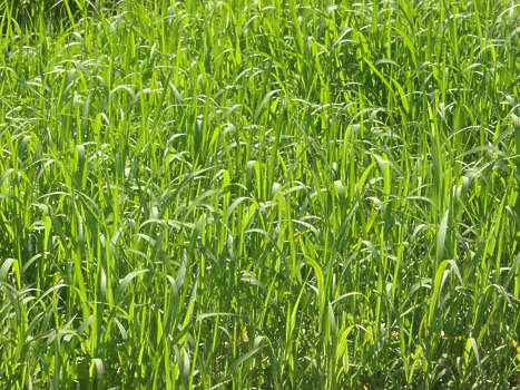 tall grass texture. Tall Grass Texture H