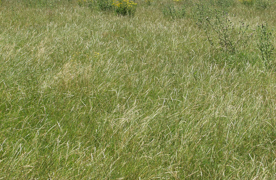 GrassTall0015 - Free Background Texture - grass tall long ...