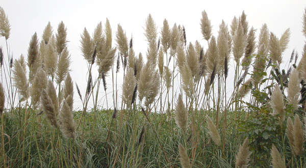 reed tall grass plumes reeds