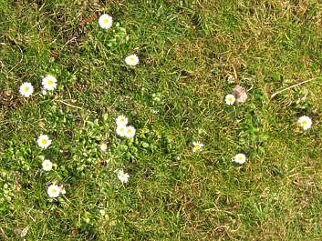 grass ground groundcover plants flowers flower flowers daisies daisy