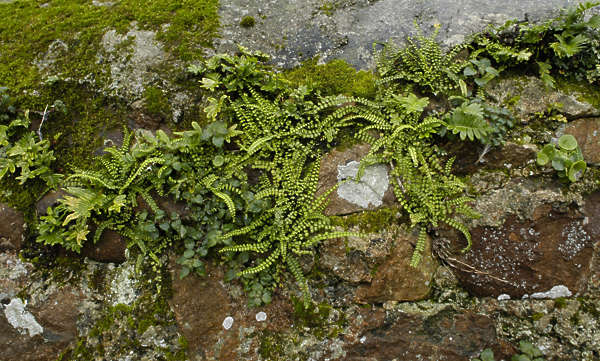 plant groundplants ferns fern