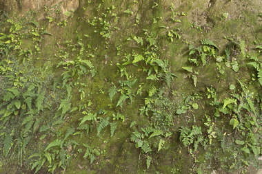 plants plant fern ferns wall cover covering jungle Japan Japanese moss