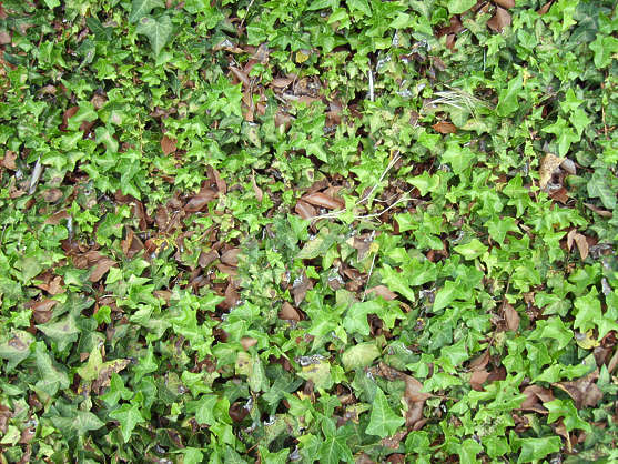 small groundplants plants ground ivy leaves