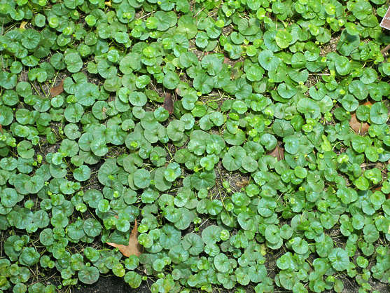 groundplants ground plants groundcover