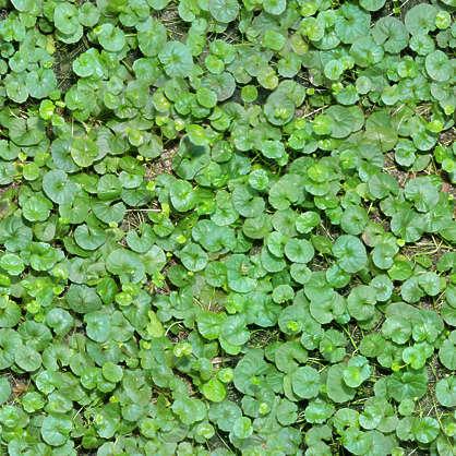 Groundplants0148 Free Background Texture Groundplants