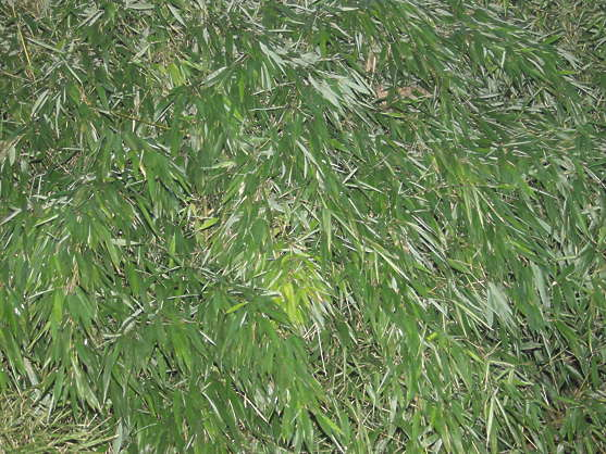 hedge leaves bamboo