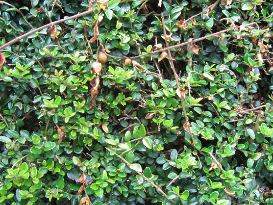 leaves hedge leaf