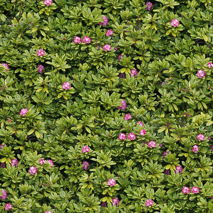Hedges0048 Free Background Texture Flower Flowers Hedge Green