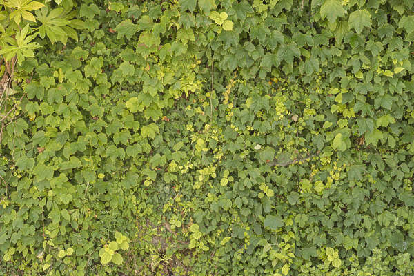 ivy leaves japan