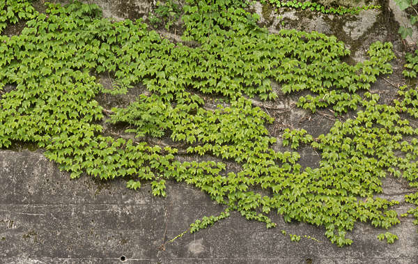 ivy leaves nature wall