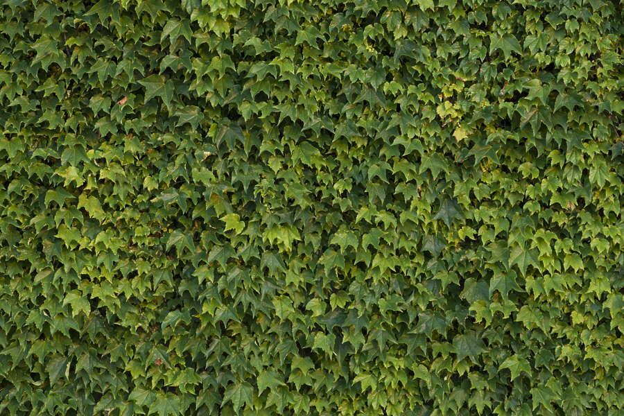 ivy0136 free background texture ivy leaves nature wall