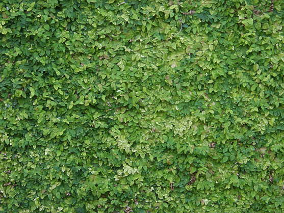 ivy leaves