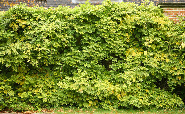 ivy leaves hedge