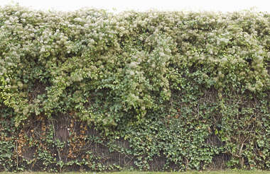 ivy hedge leaves