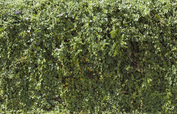 hedge leaves ivy