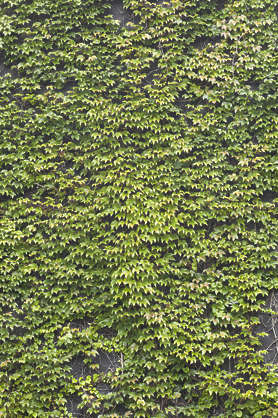ivy small leaves