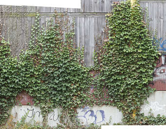 ivy wall overgrown