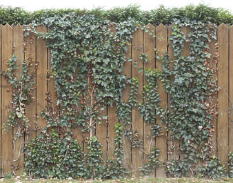 fence ivy overgrown wooden creepers vines