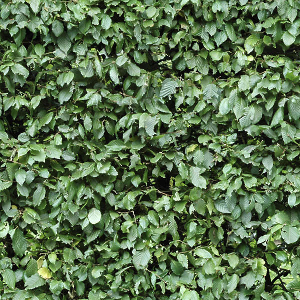 Ivy0024 Free Background Texture Ivy Leaves Green