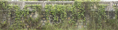 wall overgrown vietnam ivy leaves