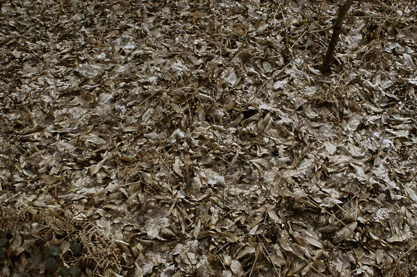 dead leaves needles ground groundcover twigs forest floor